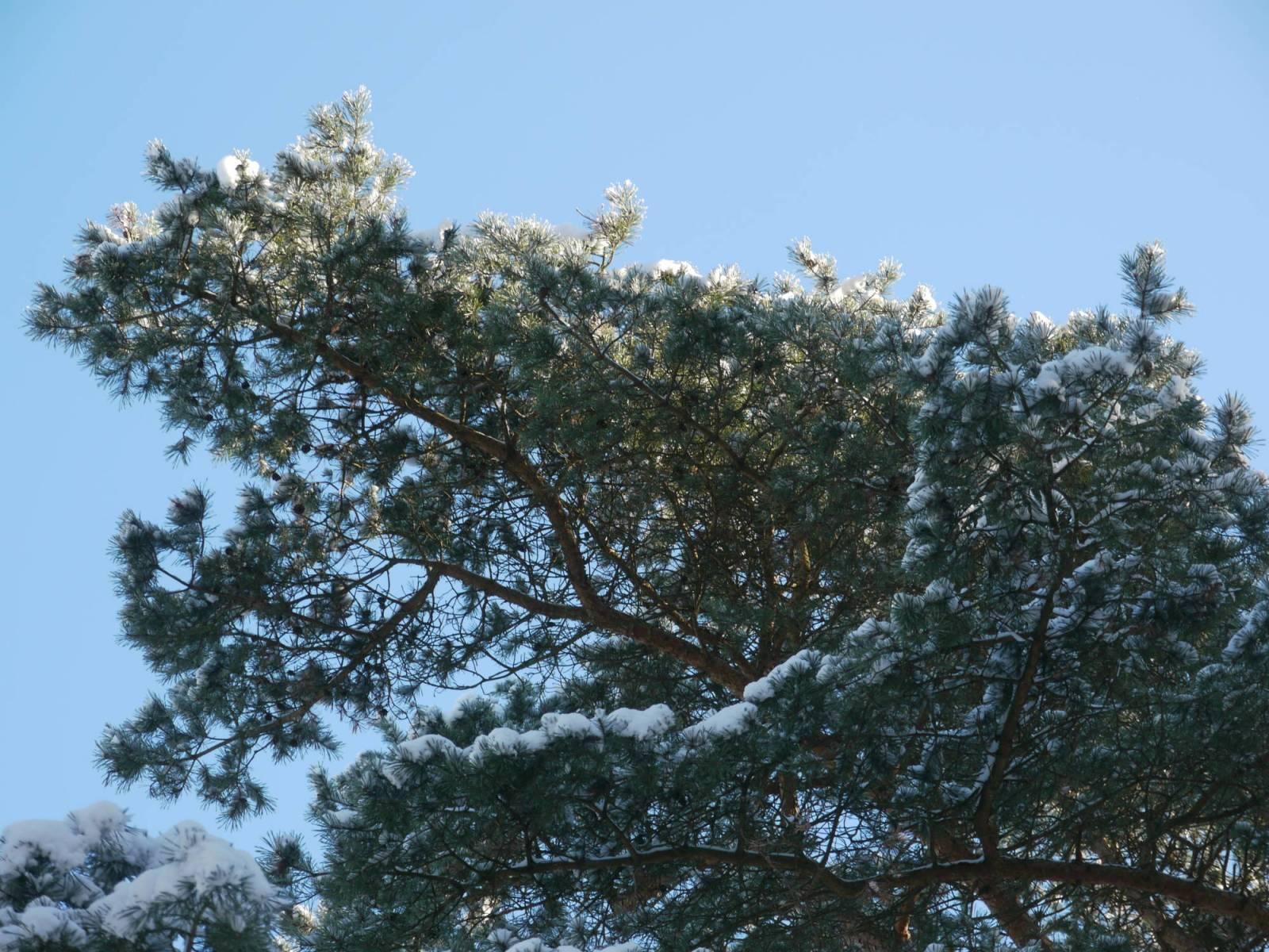 Ast mit Schnee